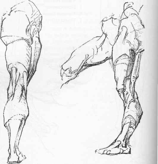 Ischial Tuberosity - Anatomical Drawings - Joshua Nava Arts