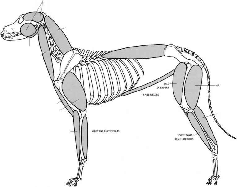 Muscle Groups Animal Anatomy Joshua Nava Arts