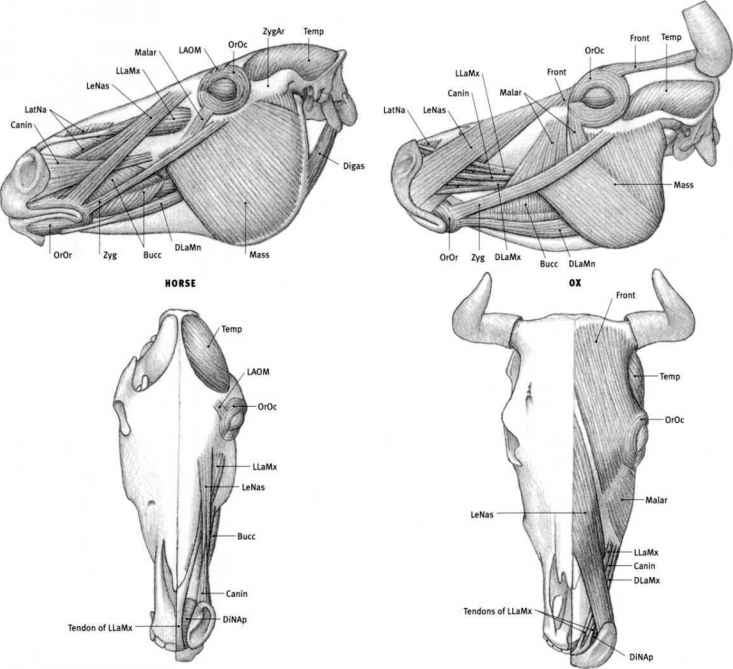 Muscle groups - Animal Anatomy - Joshua Nava Arts
