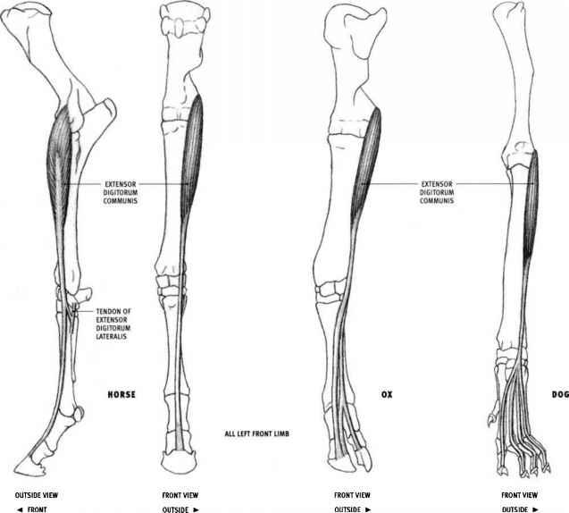 Pectoralis Profundus Pectoralis Minor Dog And Feline Animal Anatomy