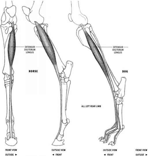 Gluteobiceps - Animal Anatomy - Joshua Nava Arts