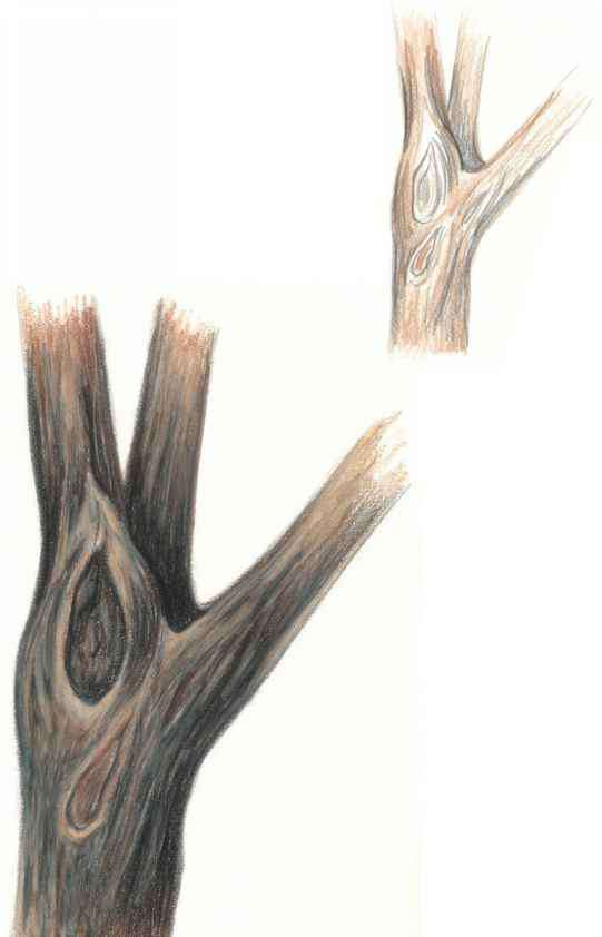 Coloured Pencil Tree Bark Drawings