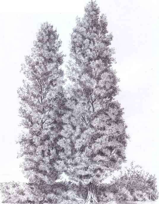Drawings Willow Trees