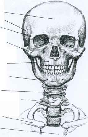 Head And Cervical Vertebrae Sketch