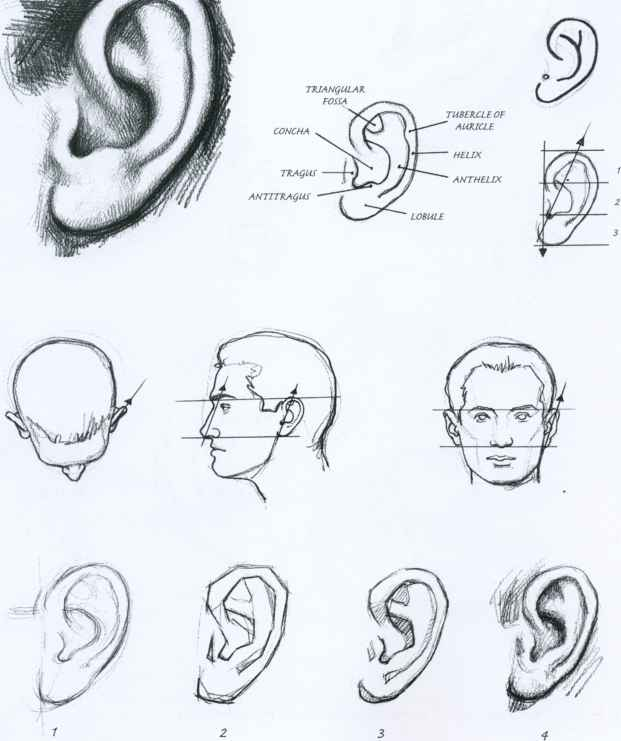 Ears Sketches
