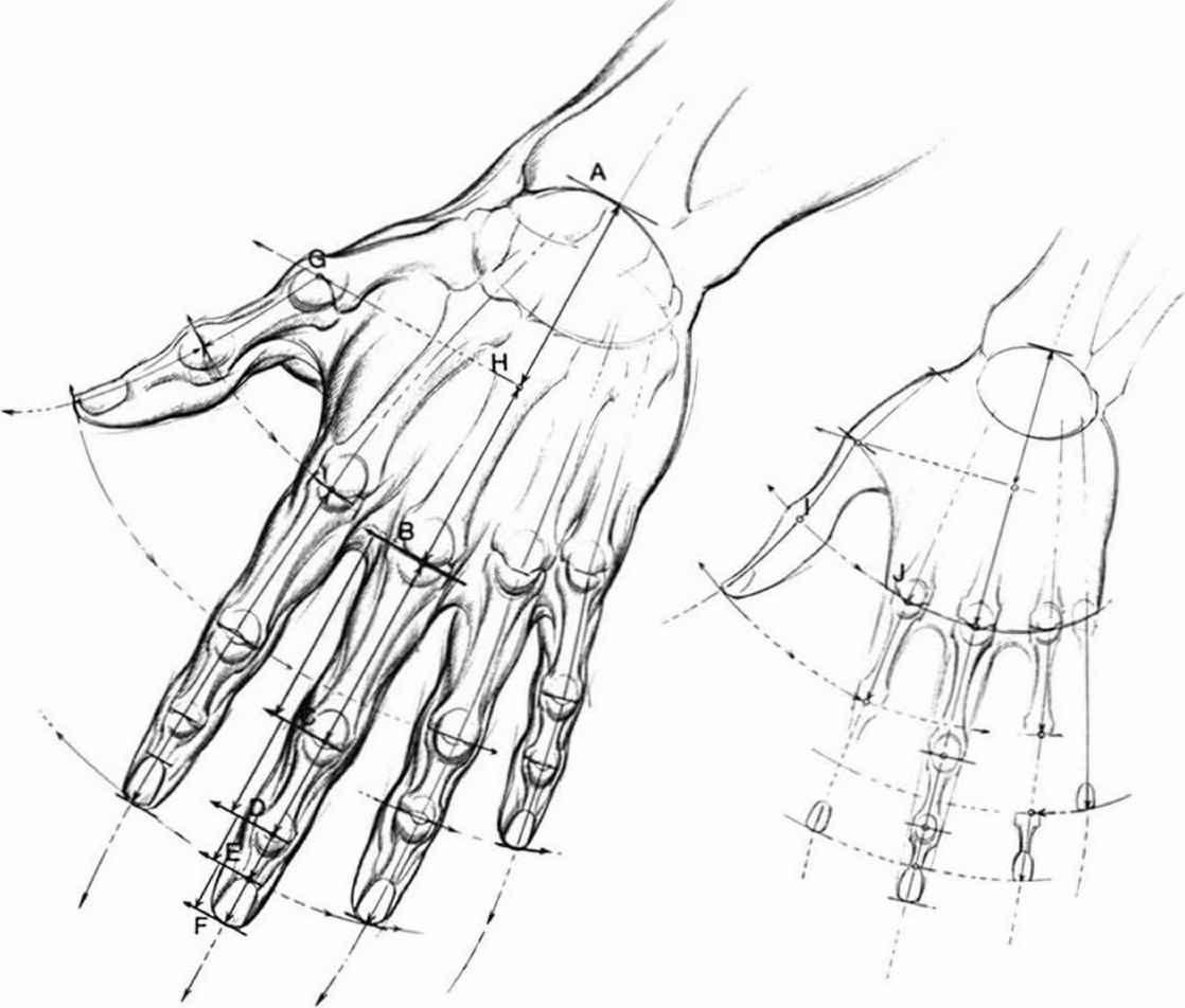proportions and measurements - drawing hands