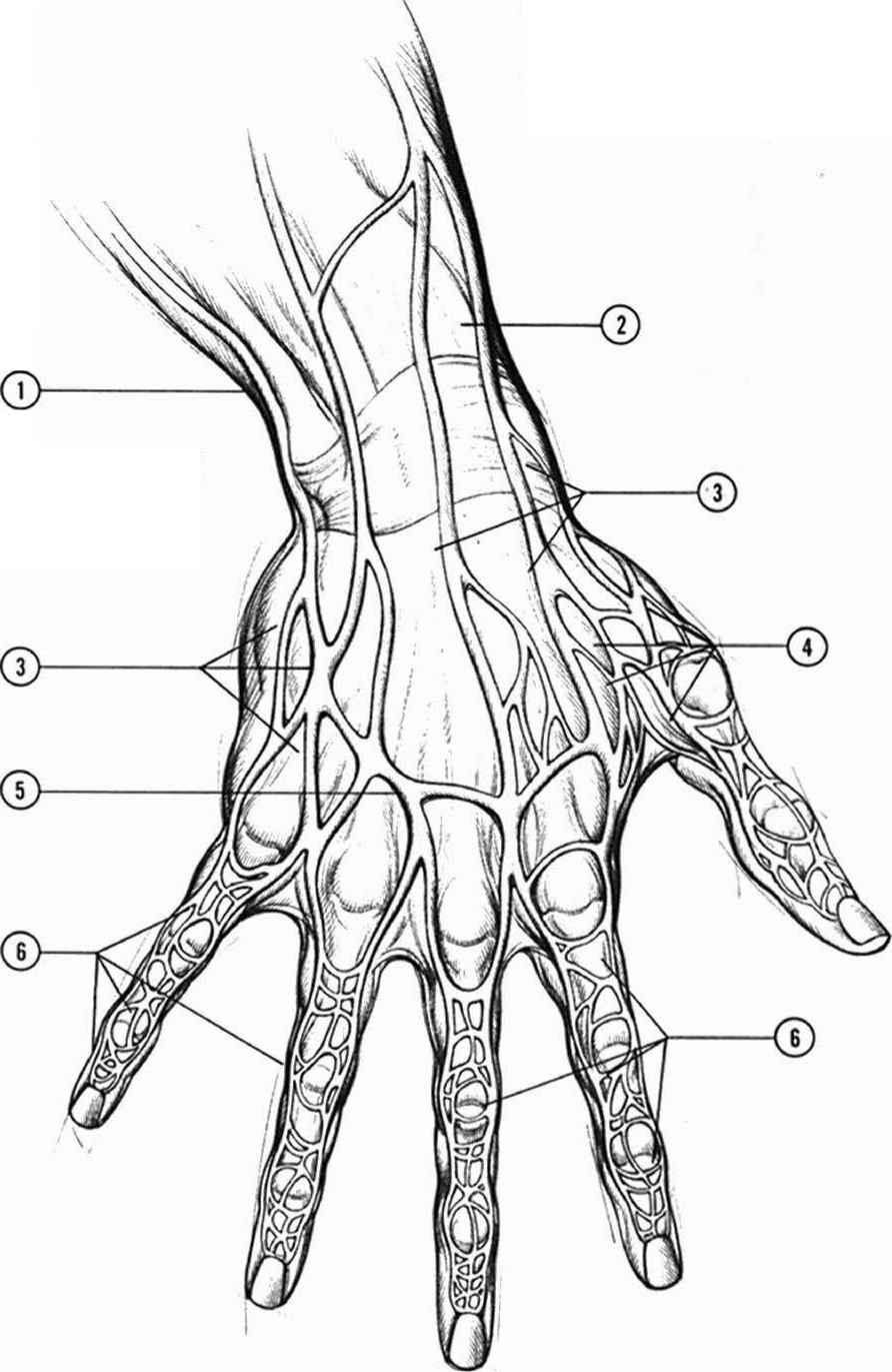 anatomyand structure drawing hands joshua nava arts. Black Bedroom Furniture Sets. Home Design Ideas