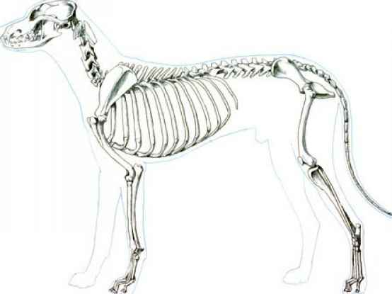 Canine Skeleton