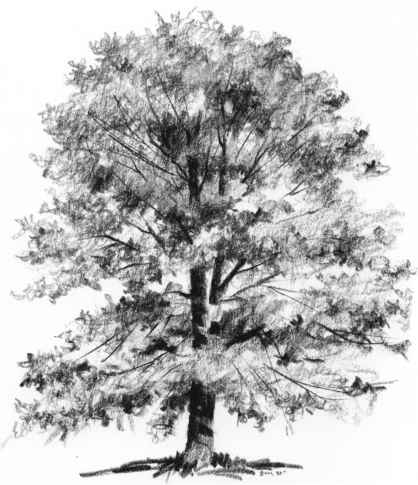 Cottonwood tree sketch nature
