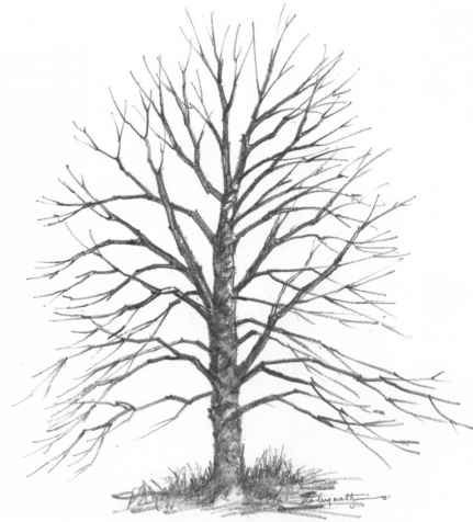Nature pencil drawing oak tree