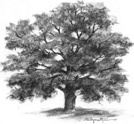 Nature pencil drawing oak tree outline drawing