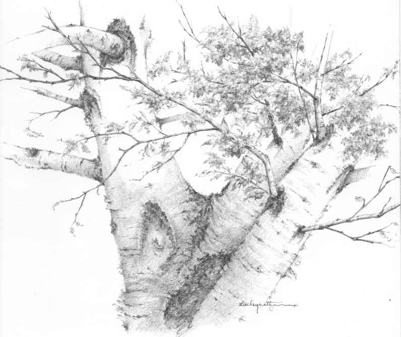 Birch drawing winter trees drawing