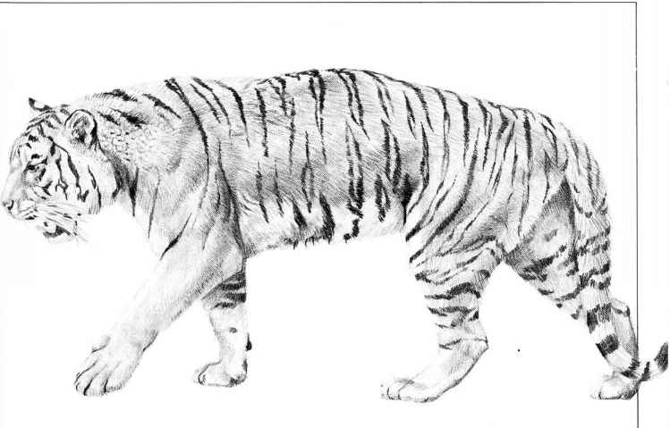 Tiger Action Drawing