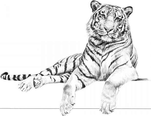 Simple Baby Tiger Drawing