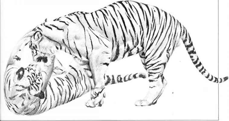 Tiger Anatomy Drawing