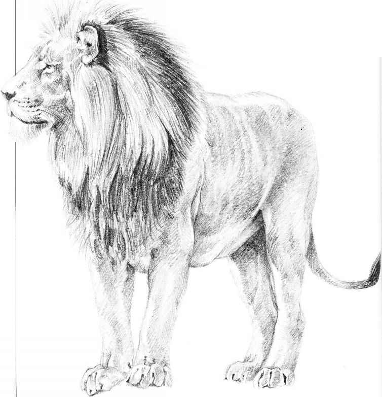 Drawing Male Lion Running