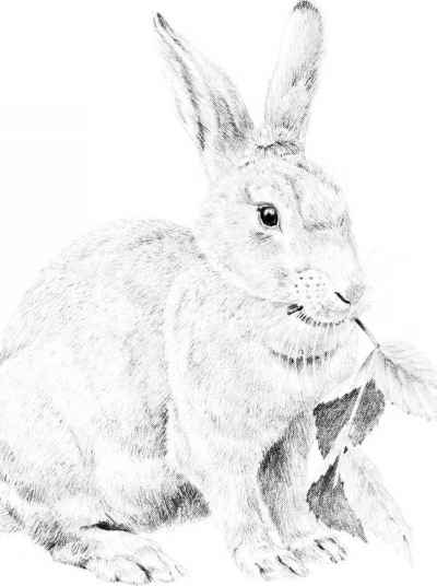 Rabbit Pencil Drawings