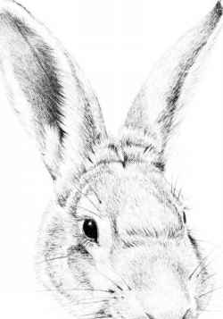 Pencil Drawing Cottontail Image