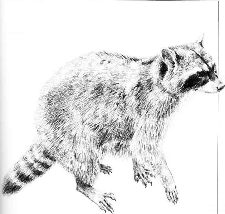 Pencil drawings animals raccoon