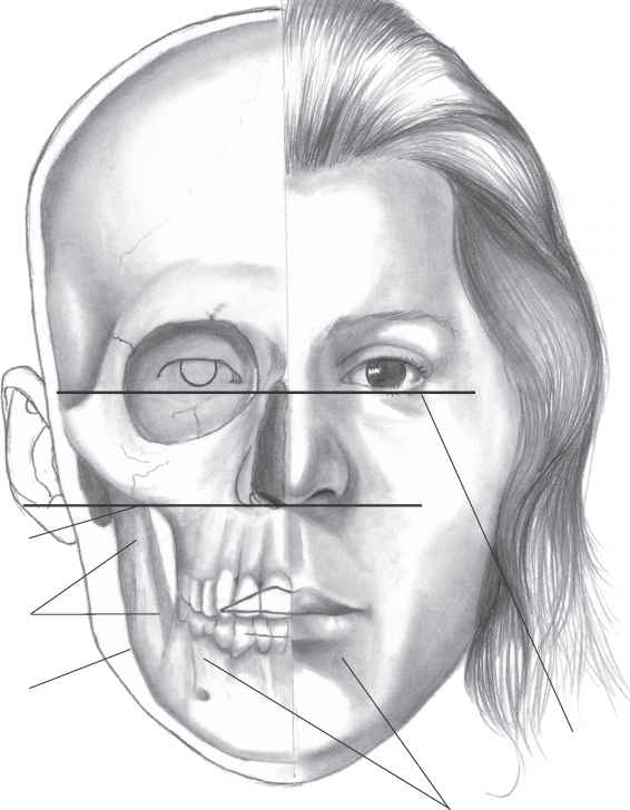 Outline Facial Bones With Skull